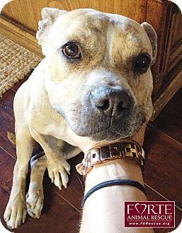 Boxer/American Bulldog Mix Dog for adoption in Marina del Rey, California - Karma