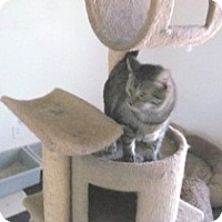 Domestic Mediumhair Cat for adoption in Phoenix, Arizona - Silver Toes