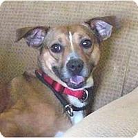 Adopt A Pet :: Chica/Bella - Mocksville, NC