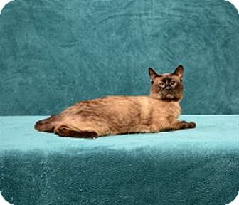 Siamese Cat for adoption in Cary, North Carolina - Gates