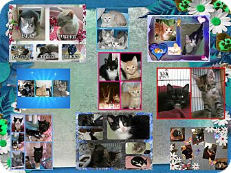 Domestic Shorthair Cat for adoption in Corinth, New York - CATS CATS CATS