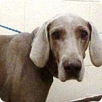 Adopt A Pet :: Dara - Sun Valley, CA