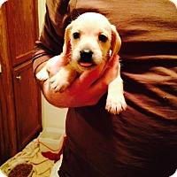 Adopt A Pet :: Dominic - Groton, MA