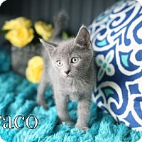 Adopt A Pet :: Draco $85 Male Kitten - knoxville, TN