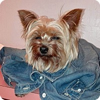 Yorkie, Yorkshire Terrier Mix Dog for adoption in Fremont, California - Rhina(Sponsor me!)
