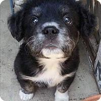 Adopt A Pet :: Luke Skywalker - Encino, CA