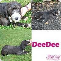 Adopt A Pet :: DeeDee (has been adopted) - Southington, CT