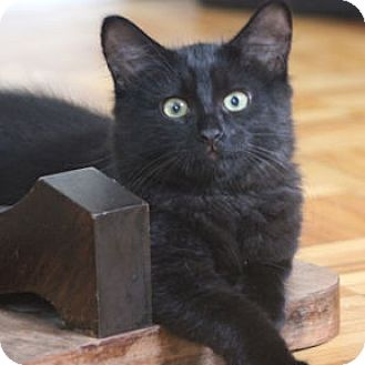 Domestic Mediumhair Kitten for adoption in Verdun, Quebec - Donna
