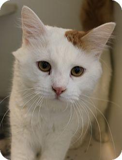 Domestic Longhair Cat for adoption in Council Bluffs, Iowa - Georgie