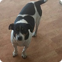 Jack Russell Terrier Mix Dog for adoption in Rosemount, Minnesota - Prissy