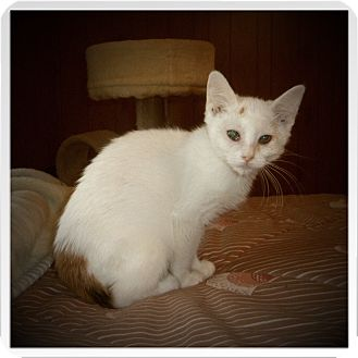 Domestic Shorthair Kitten for adoption in Medford, Wisconsin - LITZ