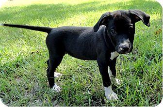 Hound (Unknown Type)/Labrador Retriever Mix Puppy for adoption in Ozark, Alabama - Willow