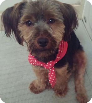 Silky Terrier/Yorkie, Yorkshire Terrier Mix Dog for adoption in Elgin, Illinois - Ginger Rodgers