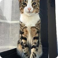 Adopt A Pet :: Kasey Kat - Woodland Park, NJ