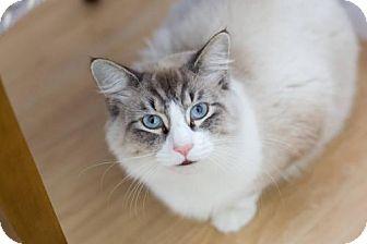 Siamese Cat for adoption in Acme, Michigan - Prince