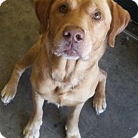 Labrador Retriever Mix Dog for adoption in Davenport, Iowa - Stewie-Courtesy Listing