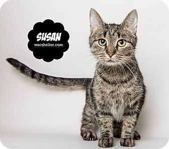 Domestic Shorthair Cat for adoption in Wyandotte, Michigan - Susan