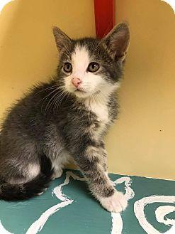 Domestic Shorthair Kitten for adoption in Maryville, Missouri - Capi