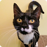 Domestic Shorthair Cat for adoption in Norristown, Pennsylvania - Nina
