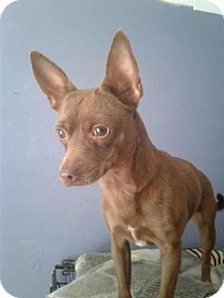 Chihuahua/Terrier (Unknown Type, Medium) Mix Dog for adoption in Columbia, Tennessee - Tonya/TX