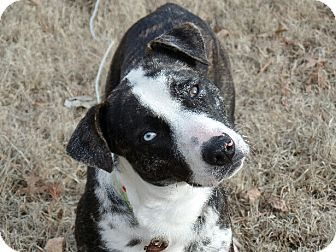 catahoula american bulldog mix great falls va catahoula leopard dog american bulldog 2547