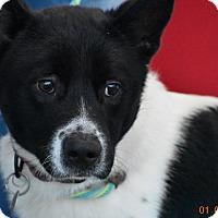 Adopt A Pet :: Jackson - Seattle, WA