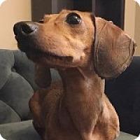 Adopt A Pet :: Annie Arabesque - Houston, TX