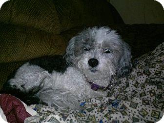 Shih Tzu Dog for adoption in Los Angeles, California - Ginger