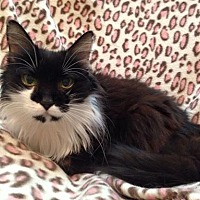 Domestic Longhair Cat for adoption in Webster, Massachusetts - Sylvia