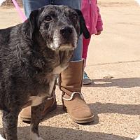 Catahoula Leopard Dog/Labrador Retriever Mix Dog for adoption in Baton Rouge, Louisiana - Gracie
