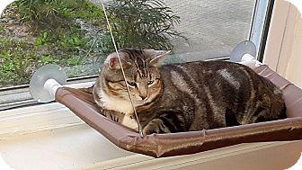 Domestic Shorthair Cat for adoption in DeRidder, Louisiana - Baby Girl
