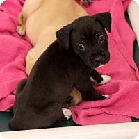 Adopt A Pet :: Shazbot - Atlanta, GA
