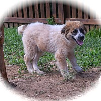 Adopt A Pet :: Grizzly - Ijamsville, MD