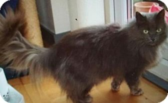 Maine Coon Cat for adoption in Devon, Pennsylvania - LA-Sissy