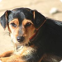 Adopt A Pet :: Jonsey - Norwalk, CT