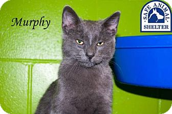 Domestic Shorthair Cat for adoption in Middleburg, Florida - Murphy 14363