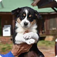 Adopt A Pet :: Petra - Charlemont, MA
