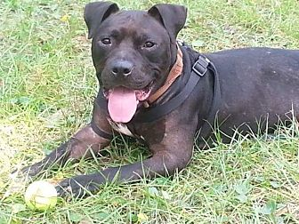 American Staffordshire Terrier Mix Dog for adoption in St Johns, Florida - Gator