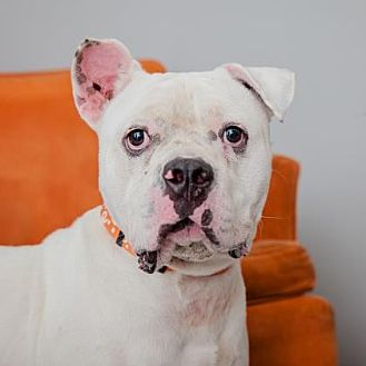 Bulldog Mix Dog for adoption in Mission Hills, California - Alvin