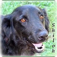 Adopt A Pet :: Shiloh - Marlborough, MA