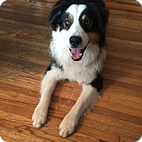 Adopt A Pet :: Archie - Minneapolis, MN