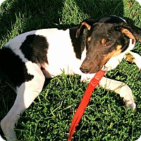 Rat Terrier Puppy for adoption in Macomb, Illinois - Alonzo
