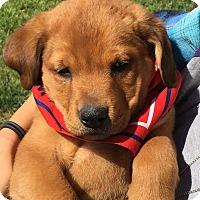 Adopt A Pet :: Bonnie's Bazooka - Las Vegas, NV