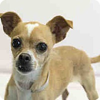 Chihuahua Mix Dog for adoption in Agoura, California - Chuy