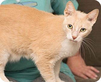Domestic Shorthair Cat for adoption in Houston, Texas - Samson
