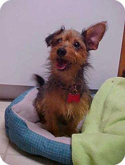 Yorkie, Yorkshire Terrier/Dachshund Mix Dog for adoption in Dahlgren, Virginia - Manny - 9 lbs