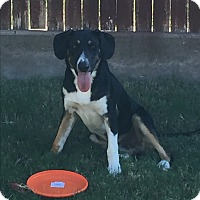 Collie Mix Puppy for adoption in Kennedale, Texas - Sam
