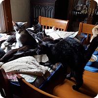Domestic Mediumhair Kitten for adoption in Statesville, North Carolina - Rhys