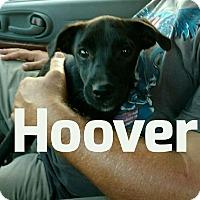 Adopt A Pet :: Hoover meet me 10/28 - Manchester, CT
