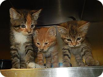 Domestic Mediumhair Kitten for adoption in Newport, North Carolina - Cinderella, Aladin, & Ariel